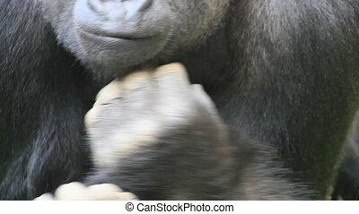 gorilla  - gorilla