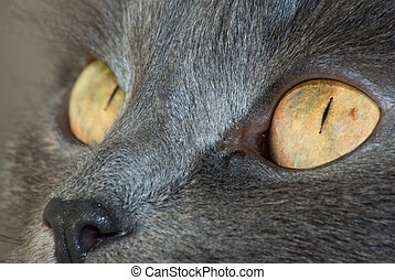 Feline eyes - Closeup of domestic cats eyes
