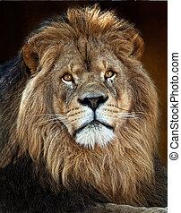 The Lion King3 - The lion Panthera leo is one of the four...