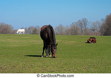 grazing horse - horses grazing and enjoying the sun on a...