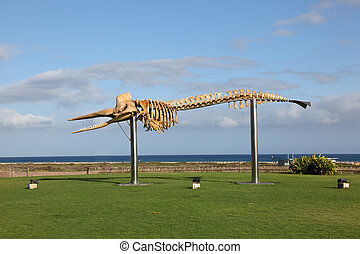 Skeleton of a big Sperm Whale Phto taken in Jandia Playa,...
