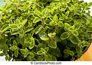 Oregano Plant - photo of fresh oregano plant on green glass...