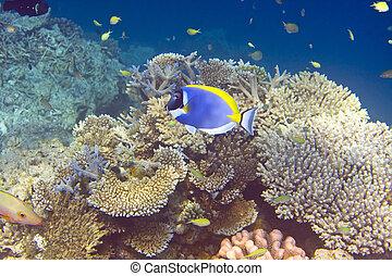 indianas, oceânicos, Peixes, Corais