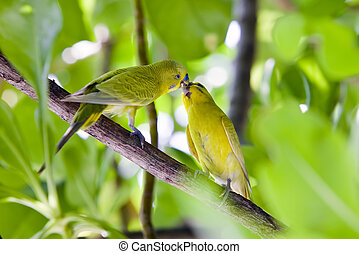 Budgerigars are kissed on branch