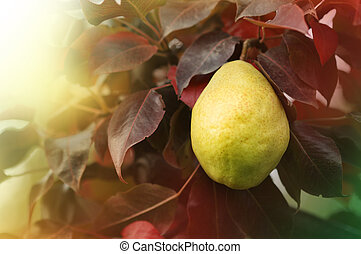Pear on the tree in the autumn garden