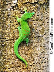 madagascar, jour, gecko