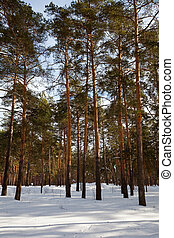 Winter lanscape with pine forest