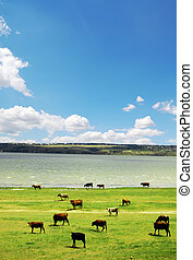 Cow near lake at spring time. High contrast photo.