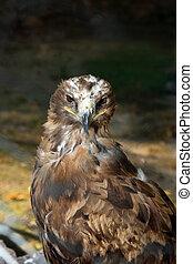 Steppe eagle Aquila rapax