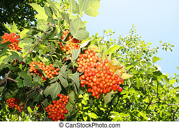 Bunch of red viburnum tree against the sky, (Viburnum)
