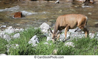 Deer - Mule Deer grazing next to a stream