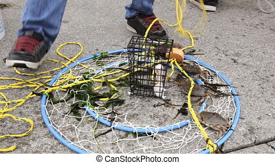 Crabs Released - Small crabs released from a crab trap
