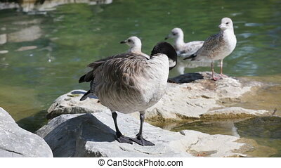 Canadian Goose - Waterfront birds, Canadian Geese, Canada