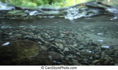 Young Salmon Swimming - Salmon swimming against the current