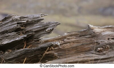 Mt. St. Helens - Close up, wood ravaged by the volcano Mt....