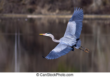 Great wing span. - A blue heron spreads its wings wide while...