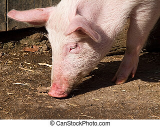 pig - head of a pig searching after food on the ground