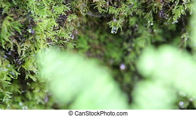 Wet forest time lapse - Raindrops dripping off moss and...