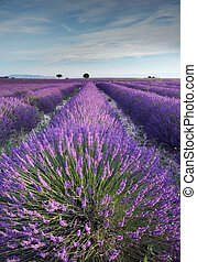 Lavender field in Provence during early hours of the morning...