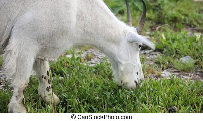 Mountain Goat - Grazing Mountain Goat