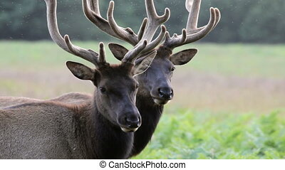 Two Elk - Redwoods National Park, two adult male Elk