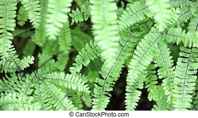Ferns - Young green ferns, with water drops, swaying gently...