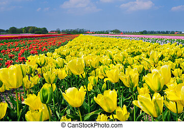 Field Of Tulips - Field of Tulips in a Spring Garden