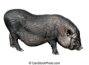 Vietnamese pig isolated on white