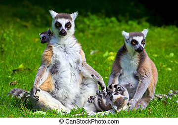 Lemur Catta Family - Family of the ring-tailed lemurs (latin...