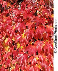 vermelho, Outono, uva, folhas