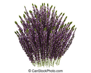 Heather or Calluna - Heather or latin Calluna isolated on...