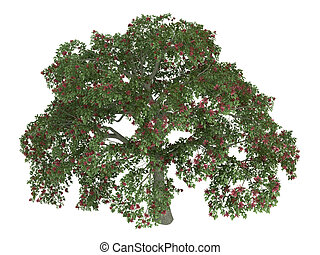 Coral tree or Erythrina - Coral tree or latin Erythrina...