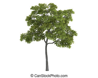 Black walnut or Juglans nigra - Black walnut or latin...