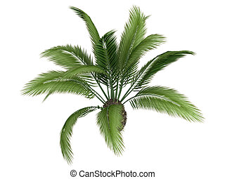 Canary date palm or Phoenix canariensis - Canary date palm...