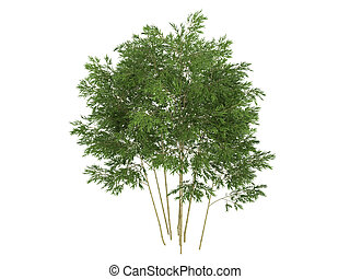 Golden fishpole bamboo or Phyllostachys aurea - Golden...