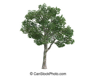 Platane or Platanus - Platane or latin Platanus isolated on...