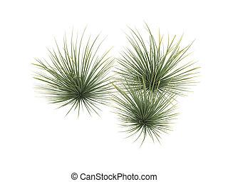 Hedgehog agave or Agave stricta - Hedgehog agave or latin...