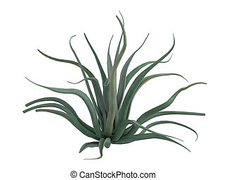 Octopus agave or Agave vilmoriniana - Octopus agave or latin...