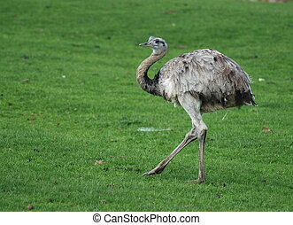Emu - An emu walking through the grass