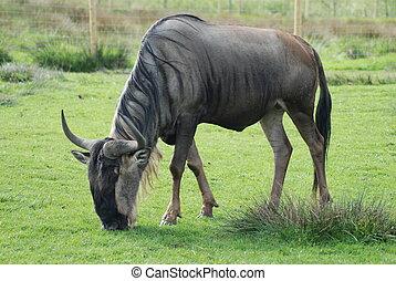 Wildebeest - A wildebeest