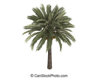 Date palm or Phoenix dactylifera - Date palm or latin...