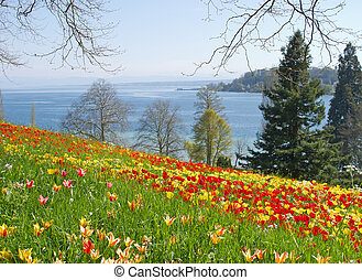 Mainau island - Red and yellow tulips in the grass on the...