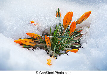 Crocus flowers - first yellow crocus flowers, growing in the...