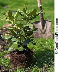 Seeding of rhododendron