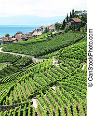 Famouse vineyards in Lavaux region against Geneva lake...