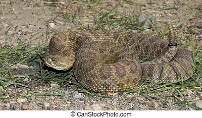 forked tongue - prairie rattlesnake tossing its forked...