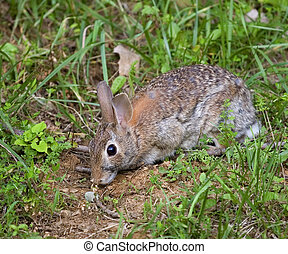 cottontail rabbit caught in a late evening meal