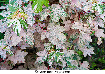 Marbled pink and green maple leaves