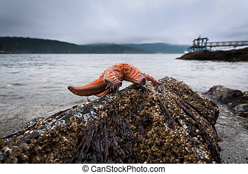 Ochre Sea Star on a rock at low tide at Obstruction Pass...