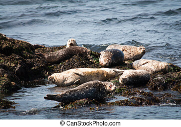Group of harbor seals on rocks in Puget Sound